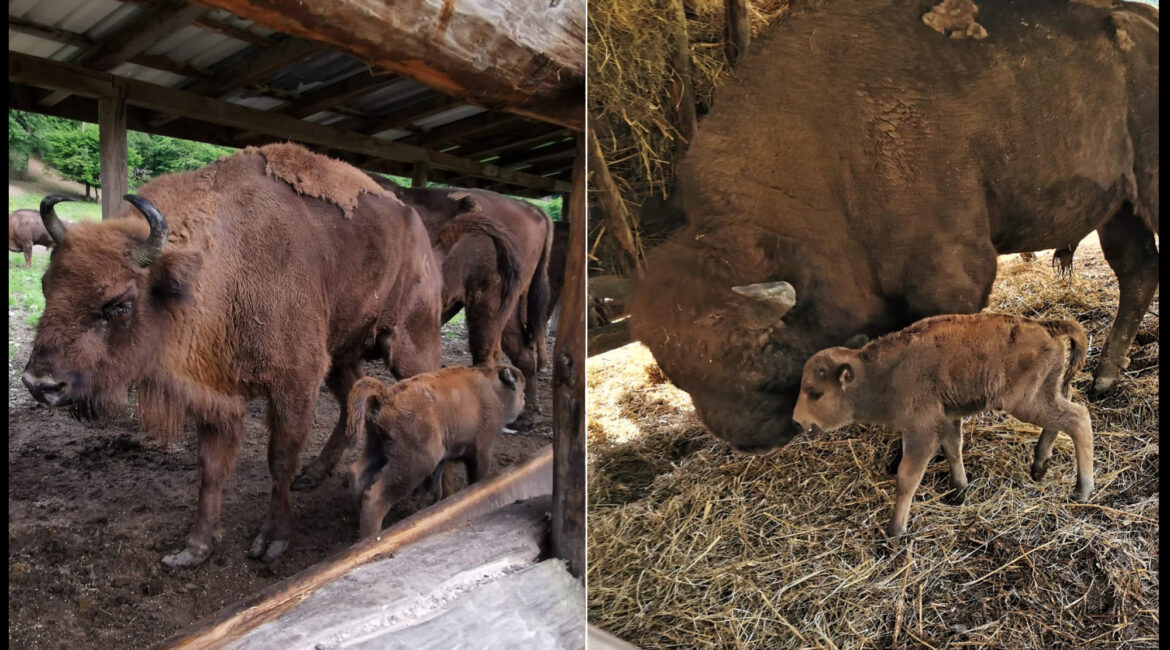 The youngest wisent cub in Romania was born in the Hateg Reverve on the day of Pentecost